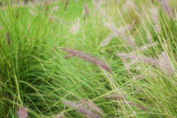 Borstelveergras in je tuin