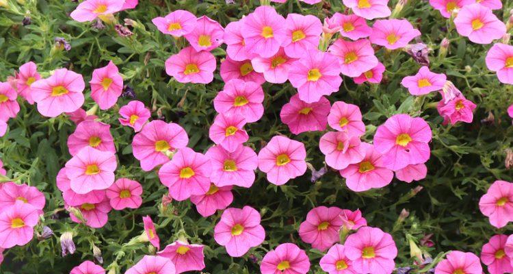 Petunia in je tuin