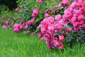 Roos in je tuin