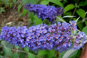 Vlinderstruik in je tuin