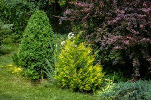 blauwe coniferen in je tuin