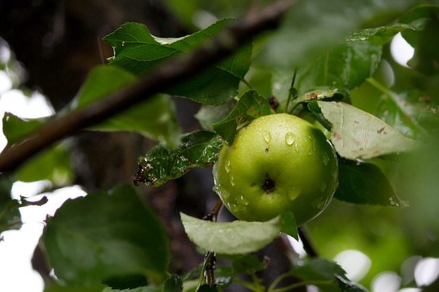 fruitboom in de tuin