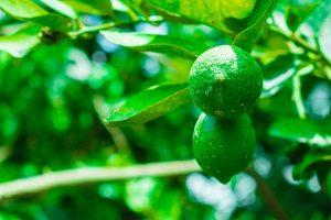 fruitboom planten