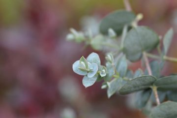 eucalyptus in je tuin