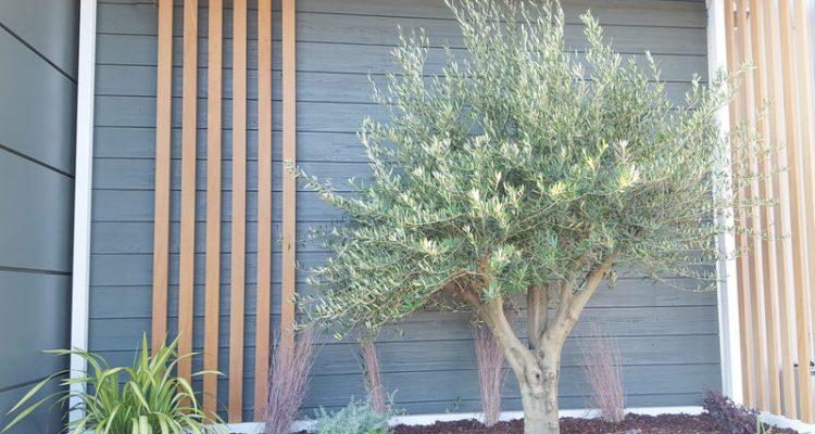 olijfboom in de tuin