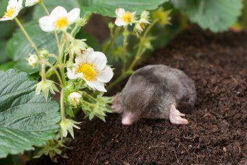Wat-doen-tegen-mollen-in-de-tuin