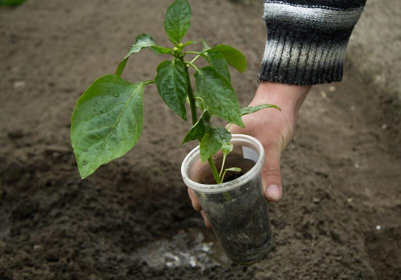plant in plastic beker